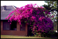 Bougainvillea at BEC